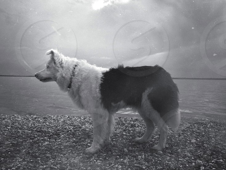 black and white short haired medium size dog standing on grey pebbles photo