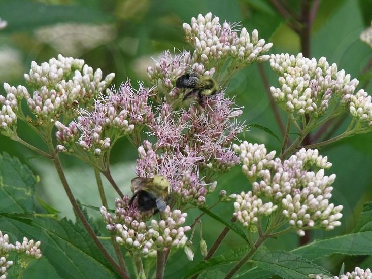 Beesinsectsbugsflowerfloralsummerpink flowerbee on flowerlandscapesoutdoorsgardengardening photo
