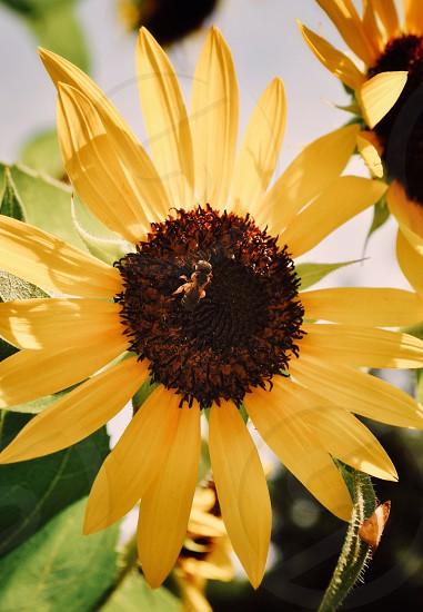 close up shot of sunflower photo