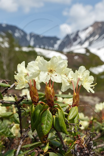 Wildlife Kamchatka: beauty flowering Rhododendron Aureum on a background of picturesque mountains on a sunny day. Eurasia Russian Far East Kamchatka Peninsula. photo