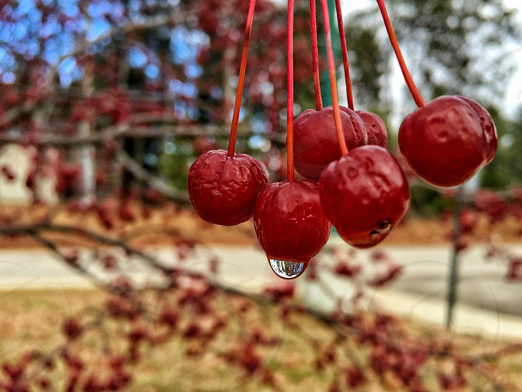 water covered red cherries hanging from a tree photo