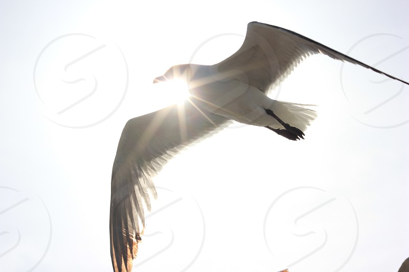 Seagull Flare photo