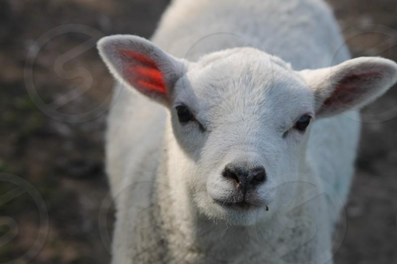 Spring colour lamb white fluffy  photo