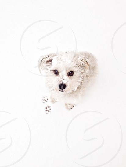 Puppy and paw prints in snow  photo