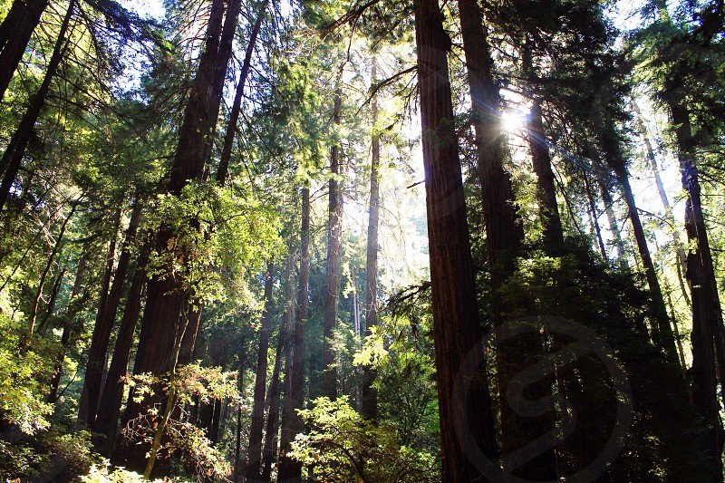 Muir Woods National Monument • Mill Valley CA photo