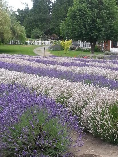 flowers patterns lavender photo