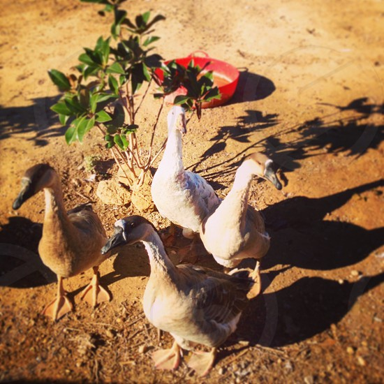 Geese Spain  photo