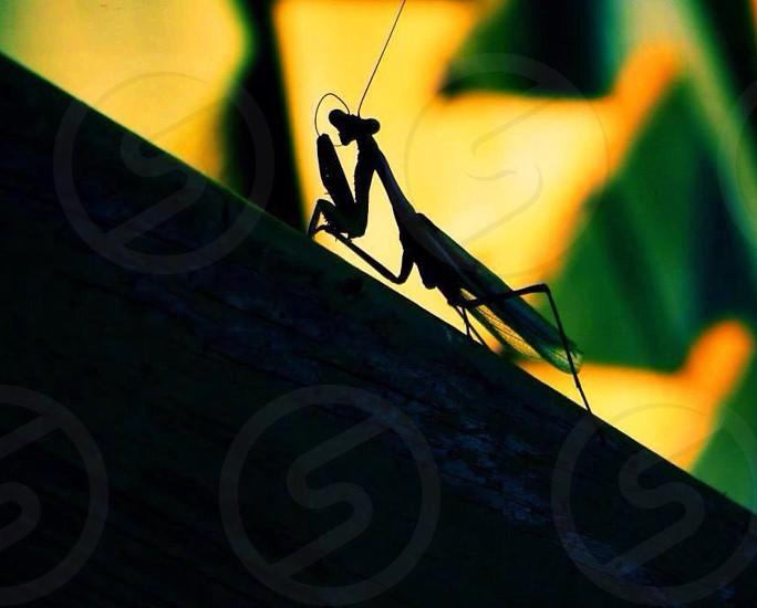 praying mantis silhouette on tree photo