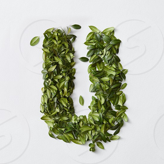 English alphabet concept. Alphabet isolated on white background. Abc letters from green leaves. Letter U represented with green leaves. Symbol U on white. photo