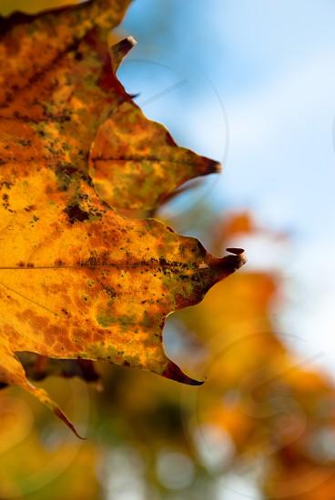leaf autumn yellow tree nature  maple photo photography photo