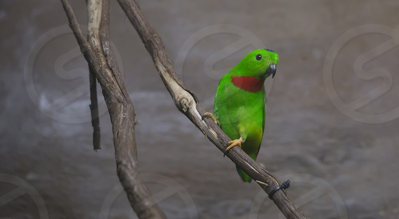 Blue-crowned lorikeet perched on a thick vine looking sideways photo