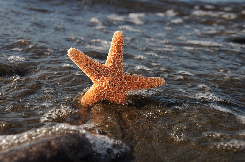 orange starfish photo