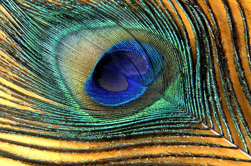 Peacock eye feather background photo