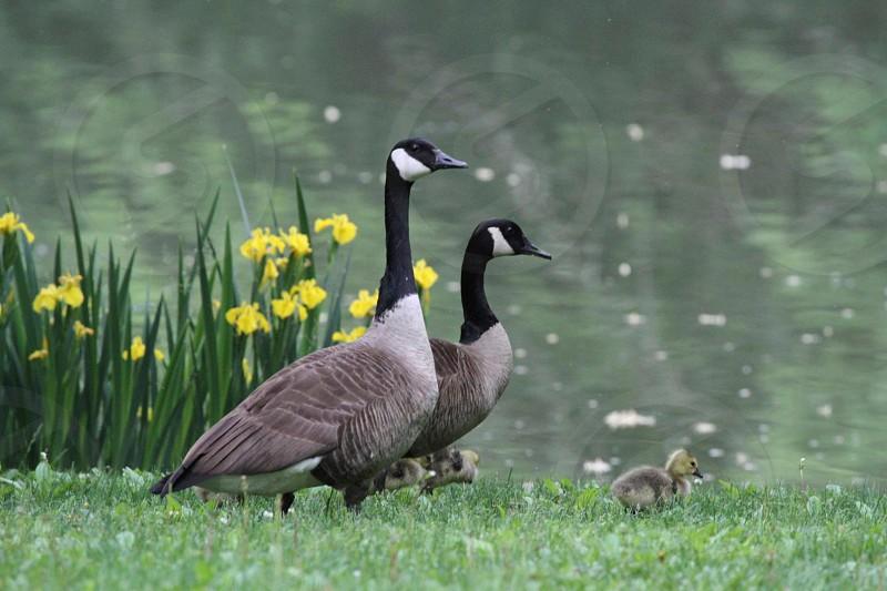grey and black ducks on green grass photo