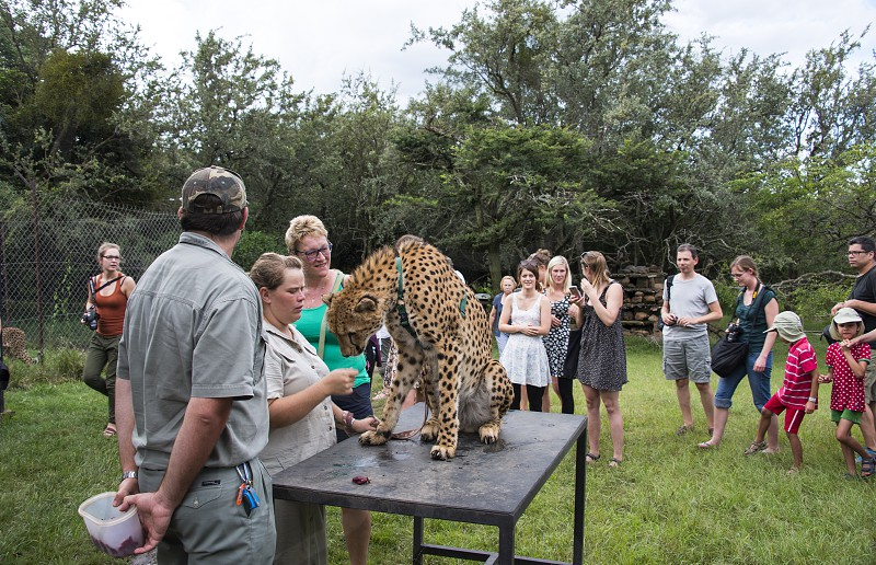 LimpopoSouth africaPeople getting information about cheetah in Moholoholo Nature Reserve and Wildlife Rehabilitation Centre is founded in 1991 in South Africa to remain the life of the wild animals photo