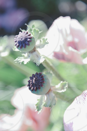 Poppy poppies flower flowers seed capsules seed-capsule seeds pink colored soft romantic picture photo  photo
