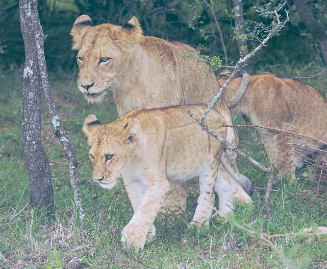 A Group of Juvenile Lions in South Africa photo