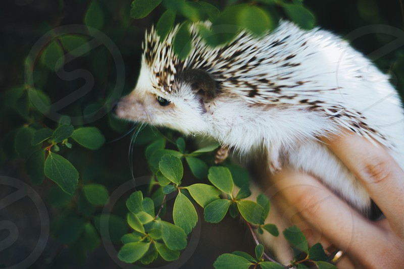 Hedgehog Gosha is always ready for a photoshoot.  photo