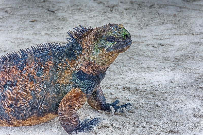Tortuga Bay Marine Iguana photo
