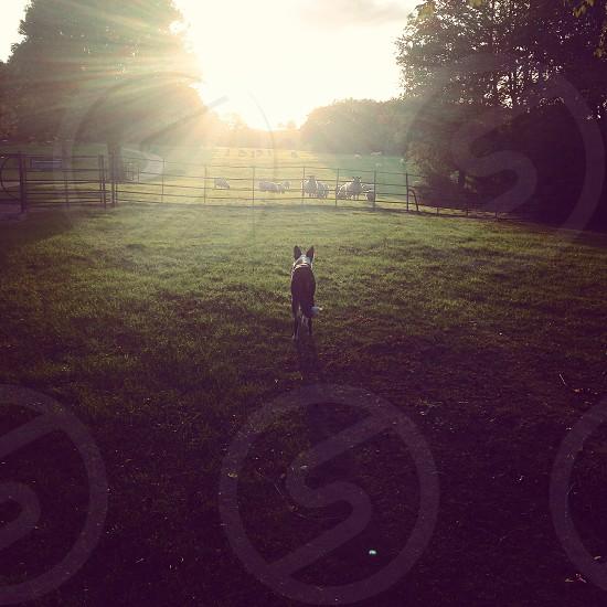 Epiphany Collie field sheep sunburst Milton Keynes Campbell Park photo