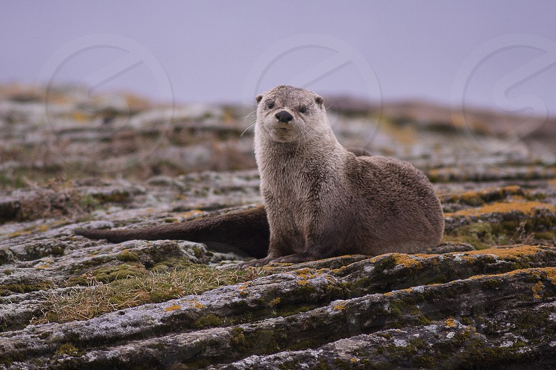 A river otter resting on a rock near shore. photo