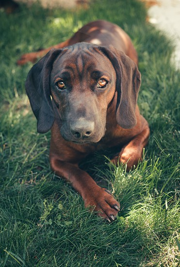Dog sad grass cute brown eyea photo