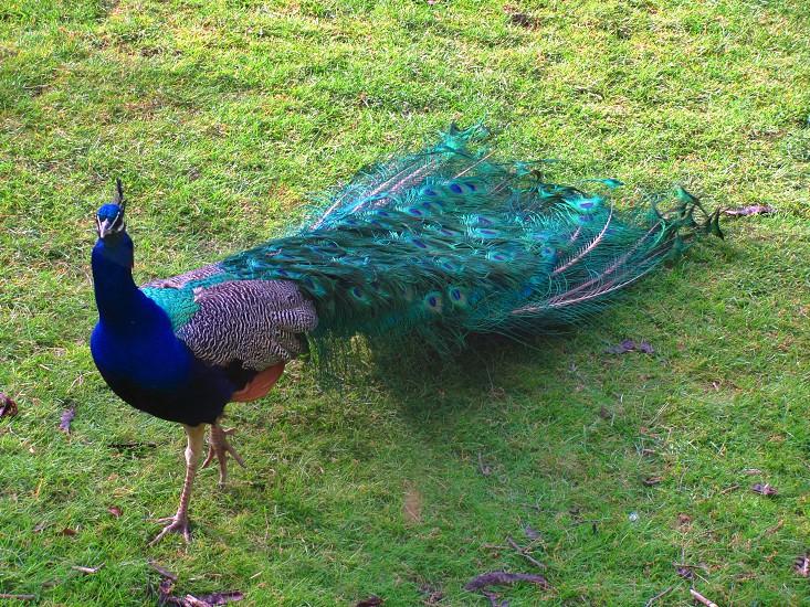 blue peacock bird on green grassland photo