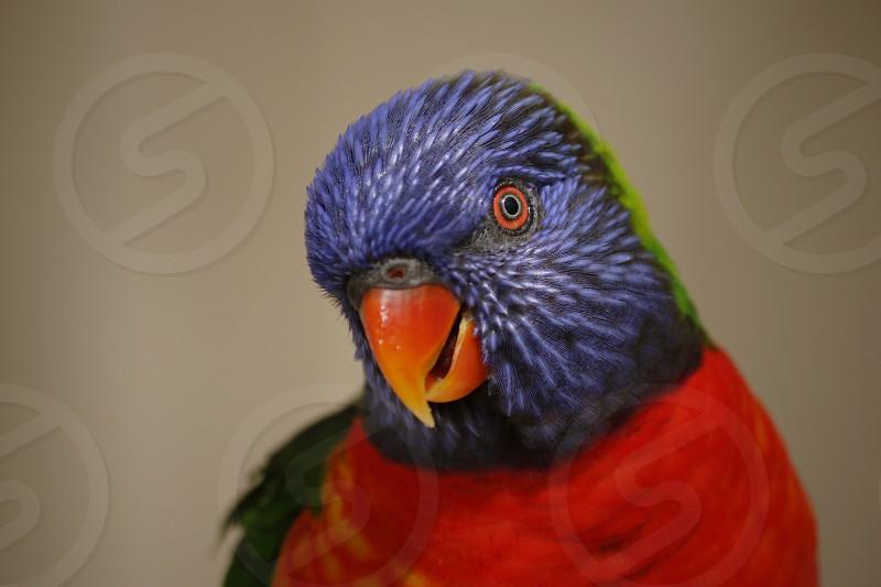 Lorikeet bird pet parrot  photo