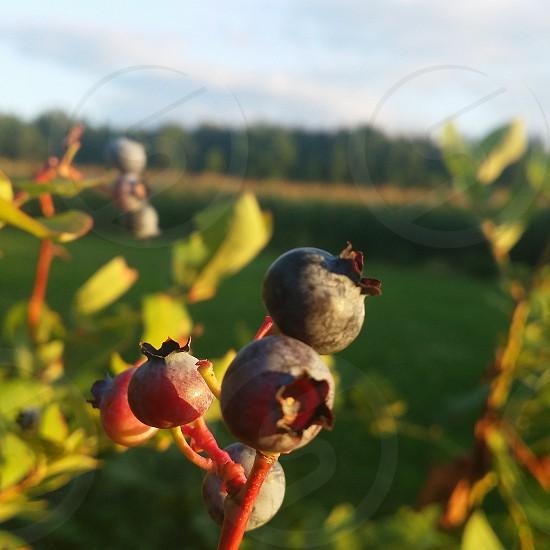 Blueberry Patch on an Adirondack Farm.  Malone NY photo