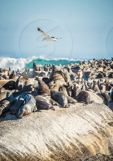 Wave ocean seals Cape Town seal island boat Atlantic  photo