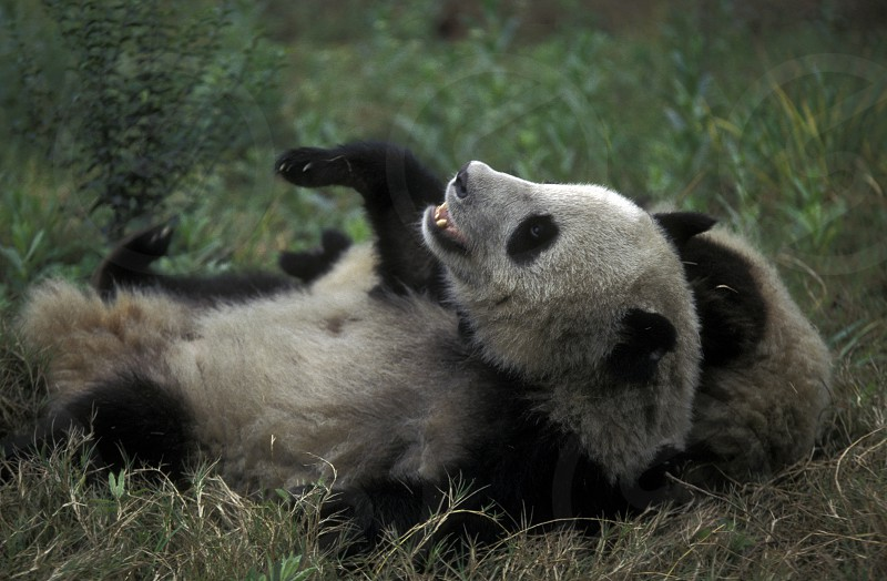 a Panda Bear in the Panda Zoo in the city of Chengdu in the provinz Sichuan in centrall China. photo