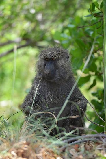 Baboon Portrait in Tanzania. photo