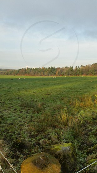 Field sheep landscape  grass trees forrest photo