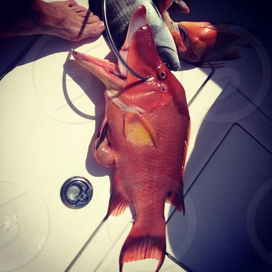 Hogfish spearfishing Florida sea fishing photo