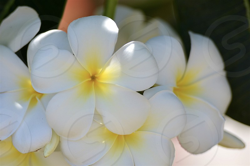 circles of a plumeria Flower photo