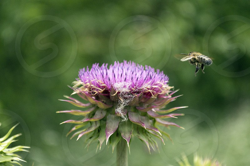 Closeup of a Honeybee flying in to pollenate a purple Thistle flower photo