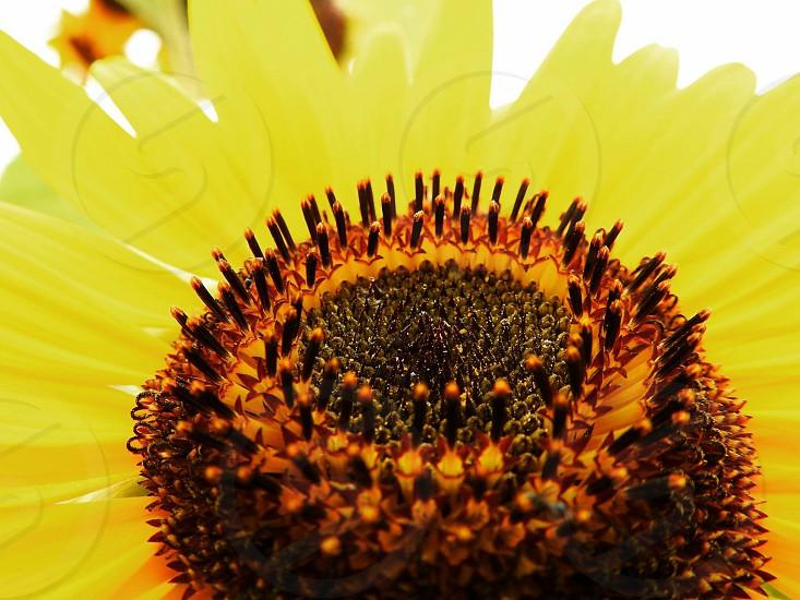 bright sunflower photo