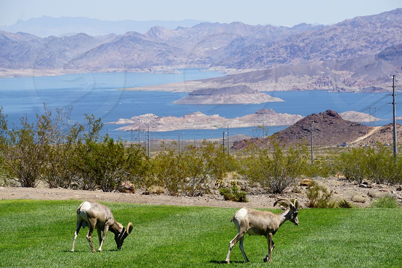 Big Horn Sheep at Hemmingway Park in Boulder City Nevada Clark County photo