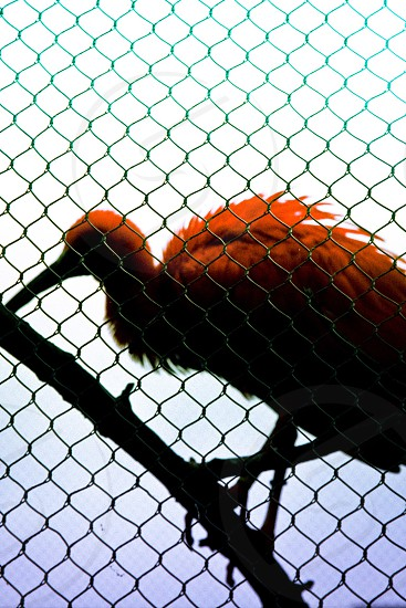 A red bird behind a fence. photo