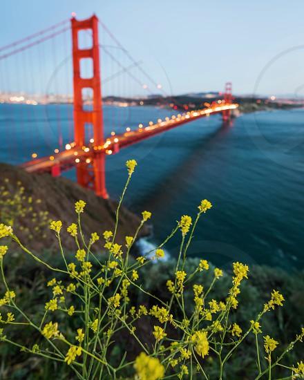 yellow field flowers on a hillside overlooking the golden gate bridge under a light blue sky photo