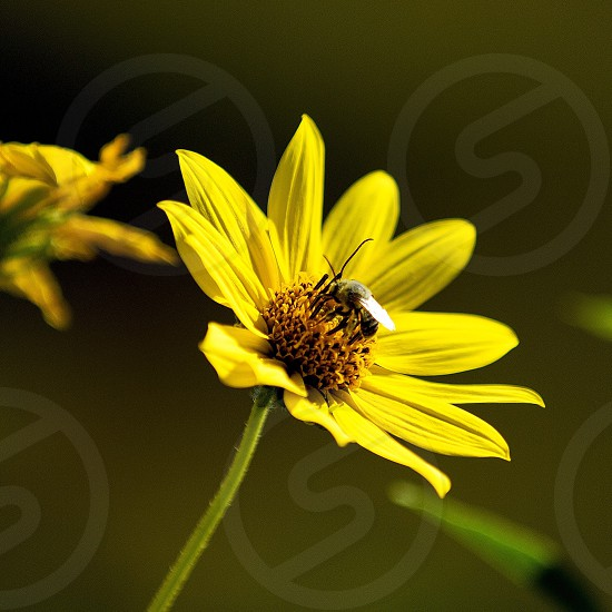 Flower sunflower honeybee  photo