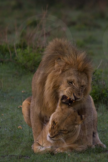 lion over lioness about to mate during daytime photo