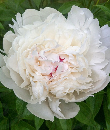 Peonies...wish their beauty lasted longer so more people could see it  photo