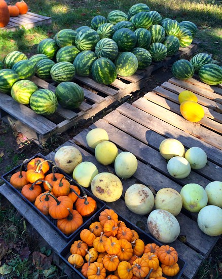 orange pumpkins and  green watermelon photo