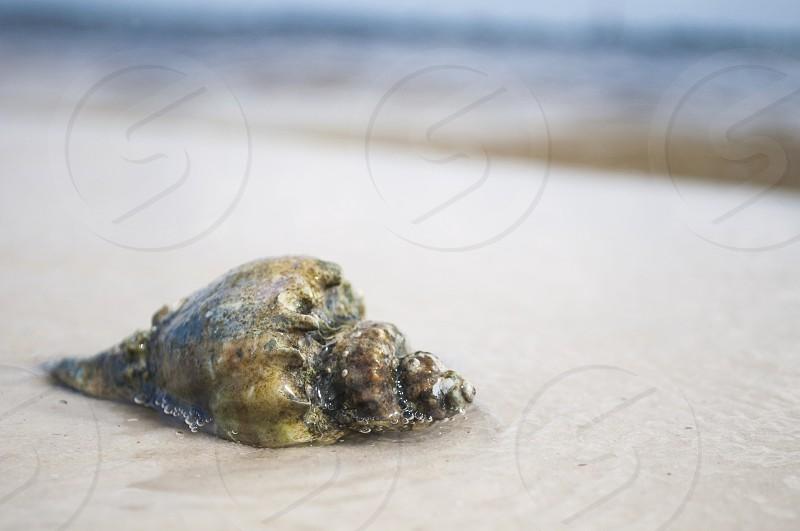 Hermit crab shell on a beach. Ocean Water Sea Life photo
