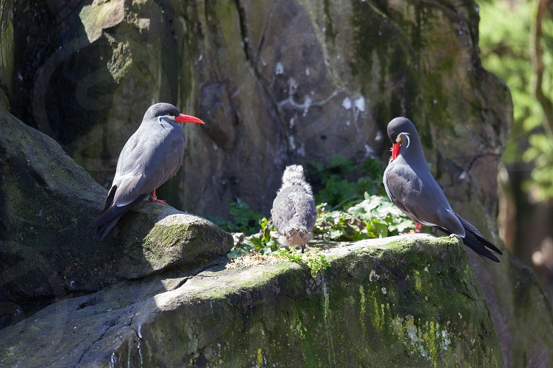Inca Terns (Larosterna inca) and Chick on a rocky ledge photo