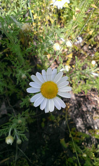white daisy closeup photography photo