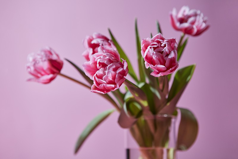 Transparent glass vase with pink tulips on a pink background. Postcard photo