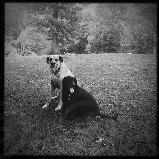 Two older dogs together 10 years old lab great dane relaxing black & white B&W friends photo