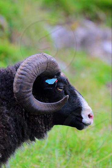 black ram photo